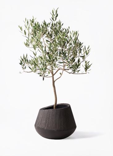 観葉植物 オリーブの木 8号 ハーディーズマンモス エディラウンド 黒 付き