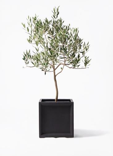 観葉植物 オリーブの木 8号 ハーディーズマンモス ブリティッシュキューブ 付き