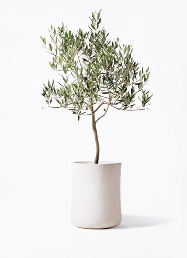 観葉植物 オリーブの木 8号 ハーディーズマンモス バスク ミドル ホワイト 付き