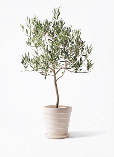 観葉植物 オリーブの木 8号 ハーディーズマンモス サバトリア 白 付き