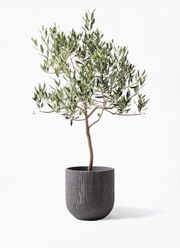 観葉植物 オリーブの木 8号 ハーディーズマンモス カルディナダークグレイ 付き