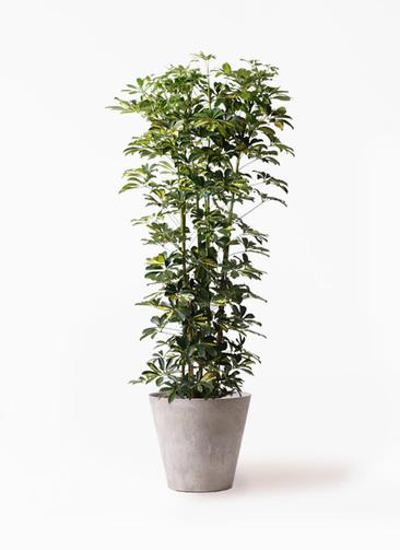 観葉植物 カポック(シェフレラ) 10号 斑入り アートストーン ラウンド グレー 付き
