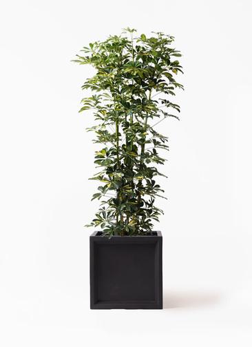 観葉植物 カポック(シェフレラ) 10号 斑入り ブリティッシュキューブ 付き