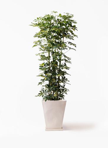 観葉植物 カポック(シェフレラ) 10号 斑入り スクエアハット 白 付き