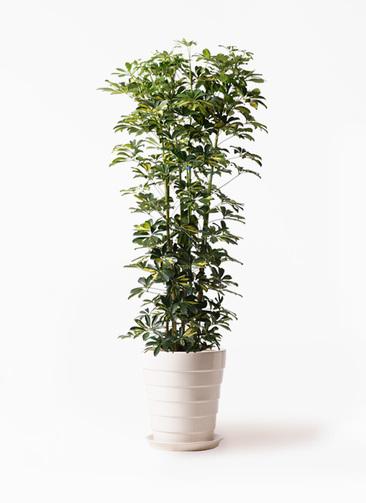 観葉植物 カポック(シェフレラ) 10号 斑入り サバトリア 白 付き