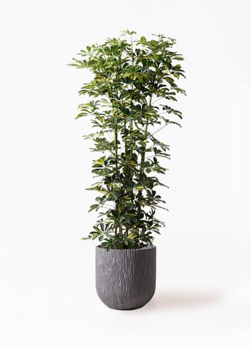 観葉植物 カポック(シェフレラ) 10号 斑入り カルディナダークグレイ 付き
