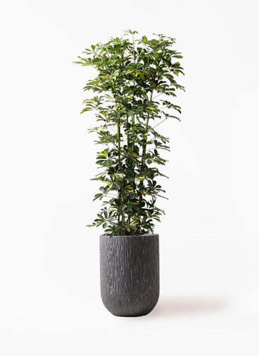観葉植物 カポック(シェフレラ) 10号 斑入り カルディナトールダークグレイ 付き