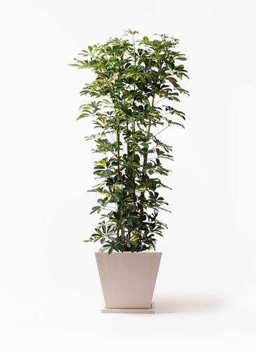 観葉植物 カポック(シェフレラ) 10号 斑入り パウダーストーン 白 付き
