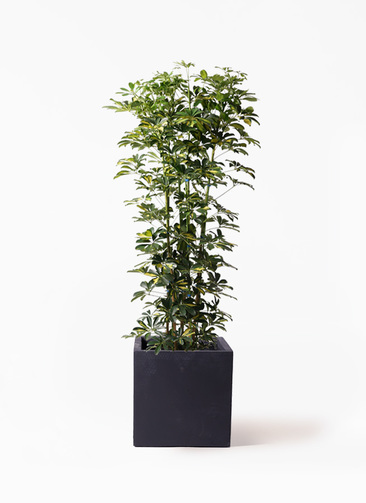 観葉植物 カポック(シェフレラ) 10号 斑入り ベータ キューブプランター 黒 付き