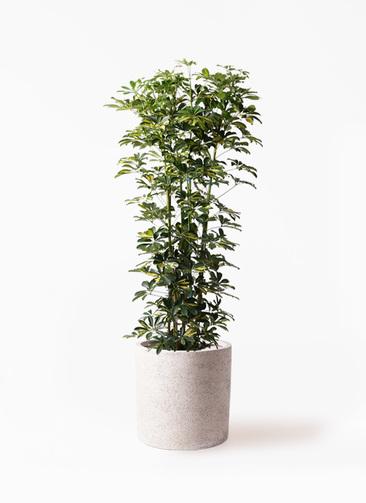 観葉植物 カポック(シェフレラ) 10号 斑入り サンディ シリンダー 白 付き