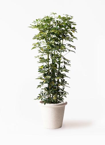 観葉植物 カポック(シェフレラ) 10号 斑入り ビアスリムス 白 付き