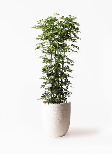 観葉植物 カポック(シェフレラ) 10号 斑入り ビアスアルトエッグ 白 付き