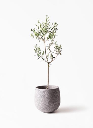 観葉植物 オリーブの木 8号 カラマタ エコストーンGray 付き