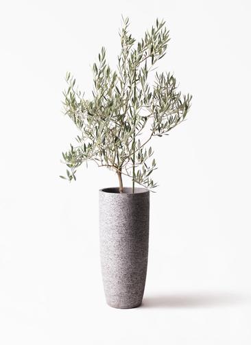 観葉植物 オリーブの木 8号 オヒブランカ エコストーントールタイプ Gray 付き
