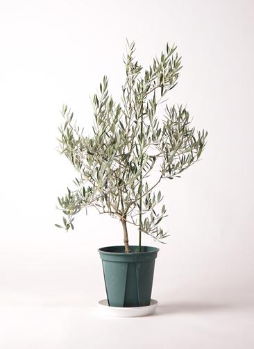 観葉植物 オリーブの木 8号 オヒブランカ プラスチック鉢