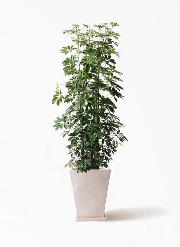 観葉植物 カポック(シェフレラ) 10号 ノーマル スクエアハット 白 付き