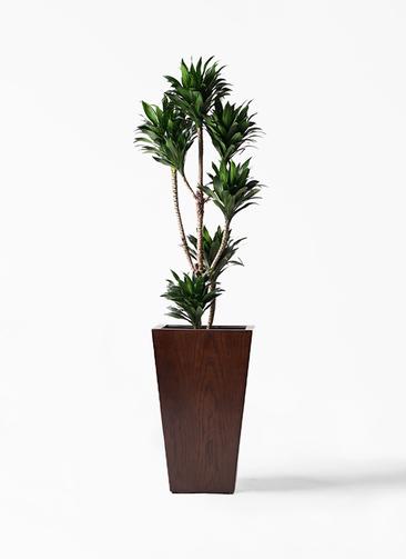 観葉植物 ドラセナ コンパクター 8号 MOKU スクエア 付き