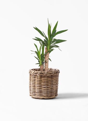 観葉植物 ユッカ 6号 ノーマル グレイラタン 付き