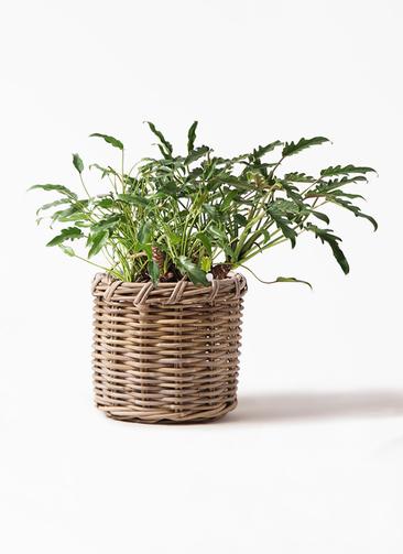 観葉植物 クッカバラ 6号 グレイラタン 付き