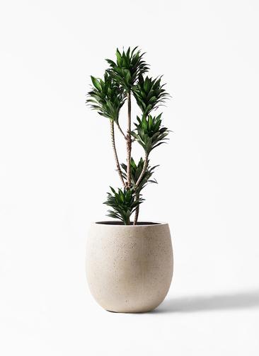 観葉植物 ドラセナ コンパクター 8号 テラニアス バルーン アンティークホワイト 付き