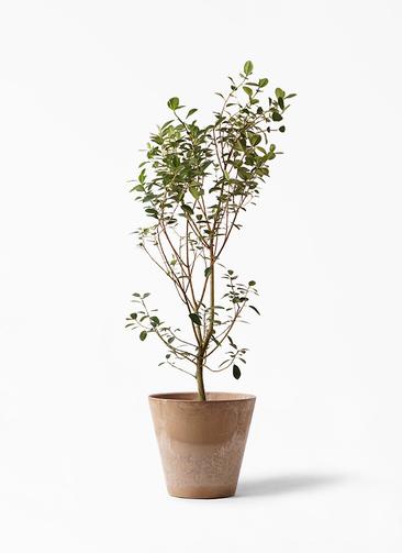 観葉植物 フランスゴムの木 10号 ノーマル アートストーン ラウンド ベージュ 付き