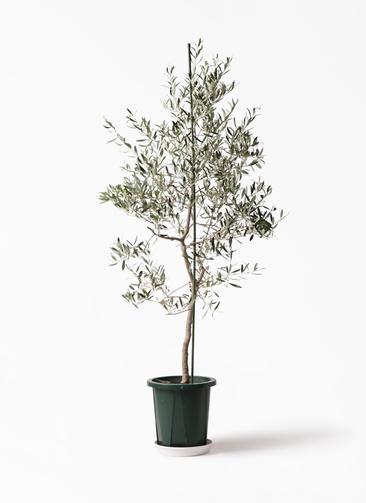 観葉植物 オリーブの木 10号 バルネア プラスチック鉢