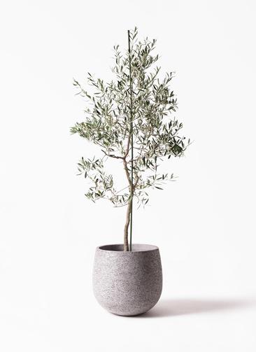 観葉植物 オリーブの木 10号 バルネア エコストーンGray 付き
