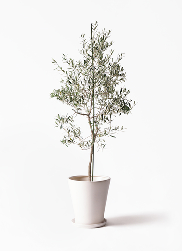 観葉植物 オリーブの木 10号 バルネア サブリナ 白 付き
