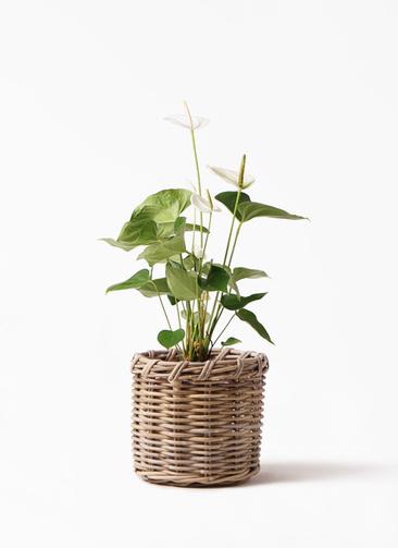 観葉植物 アンスリウム 6号 スミ グレイラタン 付き