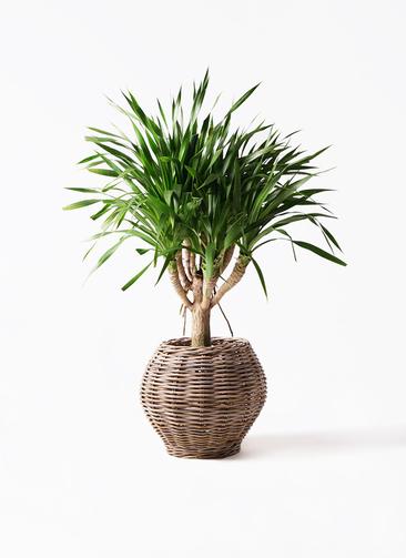 観葉植物 ドラセナ パラオ 8号 グレイラタン 付き