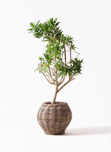 観葉植物 ドラセナ ソング オブ ジャマイカ 8号 グレイラタン 付き