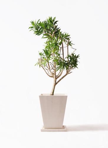 観葉植物 ドラセナ ソング オブ ジャマイカ 8号 パウダーストーン 白 付き