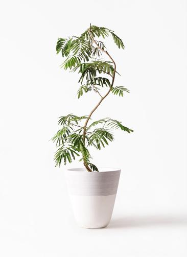 観葉植物 エバーフレッシュ 10号 曲り ジュピター 白