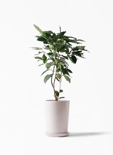観葉植物 コーヒーの木 8号 LO ラウンド 付き
