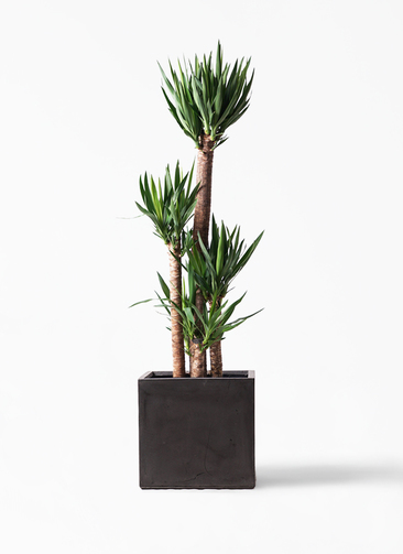 観葉植物 ユッカ 10号 ノーマル ファイバークレイ キューブ 付き