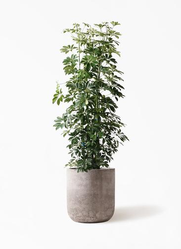 観葉植物 カポック(シェフレラ) 10号 ノーマル エルバ 白 付き