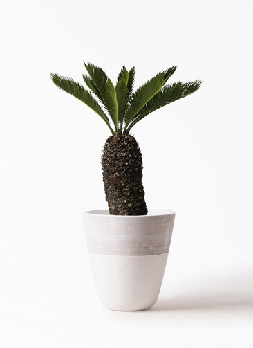 観葉植物 ソテツ 8号 ジュピター 白 付き