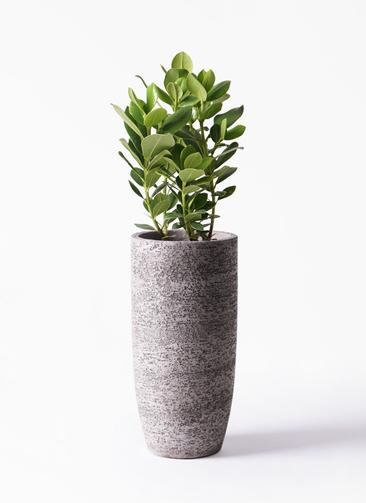 観葉植物 クルシア ロゼア プリンセス 6号 エコストーントールタイプ Gray 付き