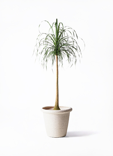 観葉植物 トックリラン ポニーテール 10号 ビアスリムス 白 付き