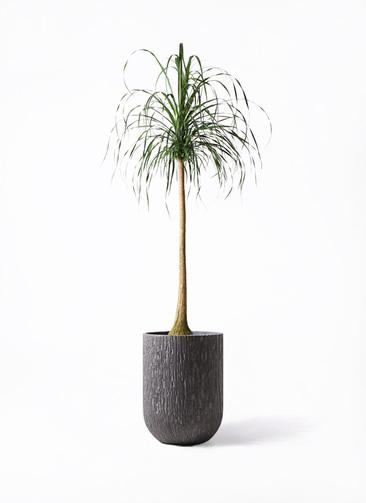 観葉植物 トックリラン ポニーテール 10号 カルディナトールダークグレイ 付き