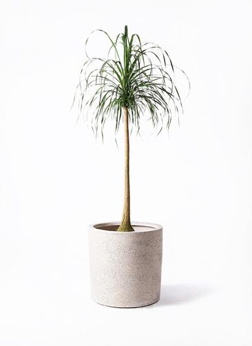観葉植物 トックリラン ポニーテール 10号 サンディ シリンダー 白 付き