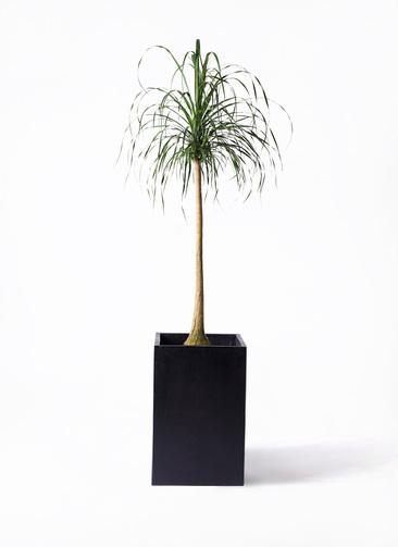 観葉植物 トックリラン ポニーテール 10号 セドナロング 墨 付き