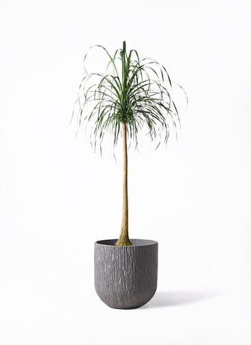 観葉植物 トックリラン ポニーテール 10号 カルディナダークグレイ 付き