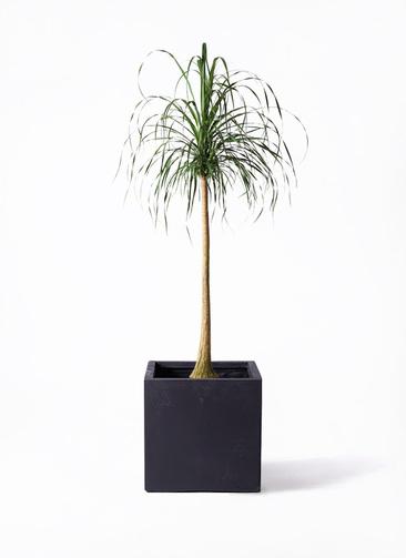 観葉植物 トックリラン ポニーテール 10号 ベータ キューブプランター 黒 付き