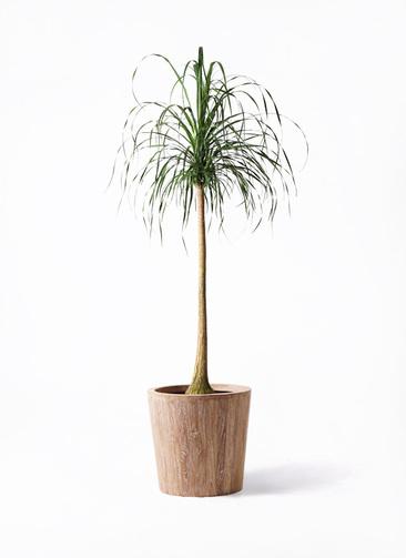 観葉植物 トックリラン ポニーテール 10号 ウッドプランター 付き