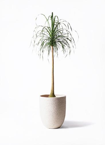 観葉植物 トックリラン ポニーテール 10号 ビアスアルトエッグ 白 付き