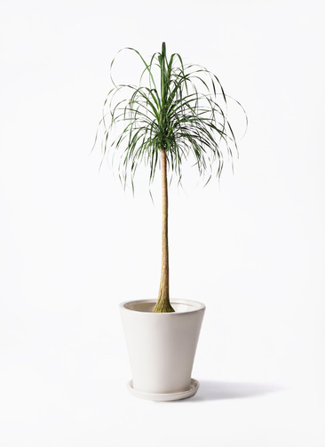 観葉植物 トックリラン ポニーテール 10号 サブリナ 白 付き