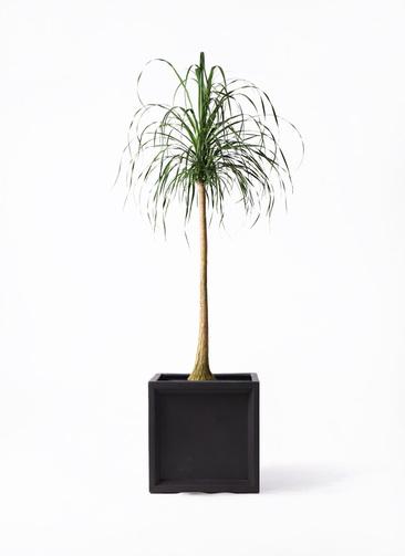 観葉植物 トックリラン ポニーテール 10号 ブリティッシュキューブ 付き