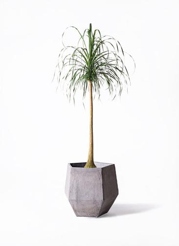 観葉植物 トックリラン ポニーテール 10号 ファイバークレイGray 付き