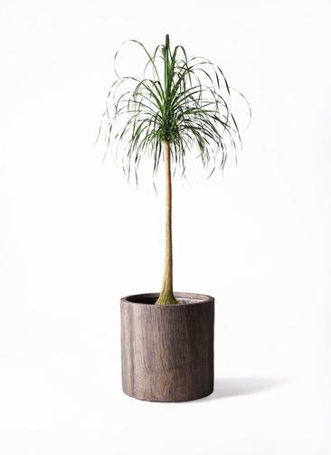 観葉植物 トックリラン ポニーテール 10号 アルファシリンダープランター 付き